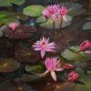 Lotus Oil Painting