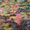 water lilies painting for sale